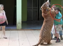 brazilian-family-owns-seven-tigers