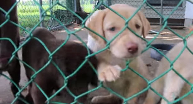 labrador-puppies1